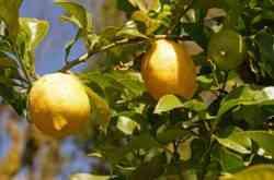 limoni costiera amalfitanal